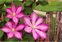 Grandpa Loved Clematis / by Anita Crisp