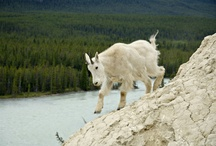 Wildlife / There's an abundance of wildlife who, like us, call the Canadian Rockies home.
