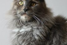 Maine Coon - Blue Torty Smoke / #MaineCoon #Blue #Torti #Smoke