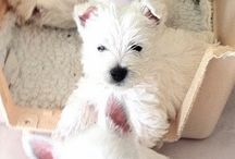 Westies are the besties / This board boosts my brain with feel-good Oxytocin.