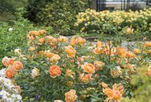 Rose Gardens from D.Austin
