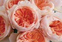Enlish roses