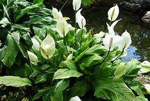 Peace lily barbara