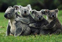 Tapety - zwierzęta - niedźwiedzie - koala