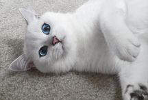 Coby, au regard éblouissant / Coby le chat blanc qui a conquis internet avec ses magnifiques yeux bleus.