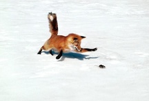 =:> Fox & Prey