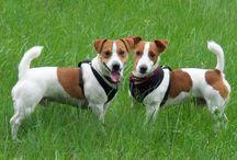 JRT Venya & Seva / Jack Russell Terrier