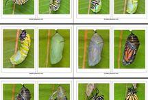 Rups/ vlinder