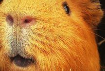 ..guinea pigs..