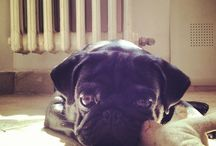 Pugs / Pics of our Pugs Milo and Bagherra...and other nice Pugs...they are all nice. Belly Rub !!!!11