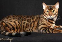 Bengal cat / Bengalinkissa