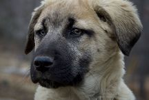 Dog from Anatolia , KANGAL