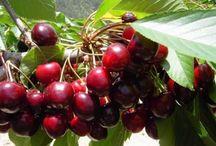 plantar cerejas
