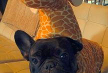 French Bulldogs Being Giraffes