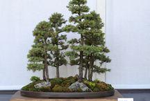 Bonsai / Growing and caring for bonsai's