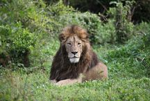 Tanzania / Experience the Serengeti and witness the great migration, meet the Maasai people, explore four National Parks and spot wildlife including lions, giraffes, elephants, hippos, buffalo, rhinos, zebras and warthogs.