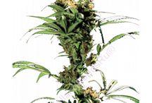 Семена конопли Green House seeds