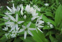 Kasvio – Karhunlaukka / Allium ursinum