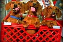 Random Doxie Favs / by Julianne Henson