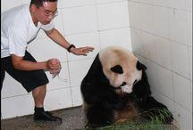 Bifengxia Pandas