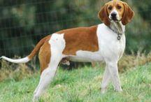 Anglo Francais De Petite Venerie / Anglo Francais De Petite Venerie dog breed pictures