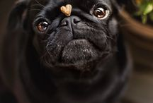 In love with pugs