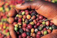 Arabica Koffiebonen / Van oorsprong komt arabica-koffie (Coffea arabica L., 1753) uit het Ethiopisch Massief. Van daaruit werd de soort naar de Arabische landen verspreid. Brazilië en Colombia zijn de belangrijkste producenten van arabica-koffie. Daarnaast zijn Mexico, El Salvador, Guatemala en Costa Rica belangrijke koffieproducenten.