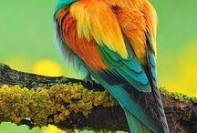 Bee-Eater- Birds