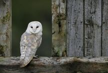 Owls Pictures: Barn, Burrowing, Spotted, Snowy Owls Images / A bird with flat wide face and small beak is naturally known as Owl, we love this bird. Because it is associated with us for the centuries in culture as well as nature. Owl pictures are very beautiful so we made it every part of our running life.