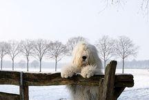 old english seep dog