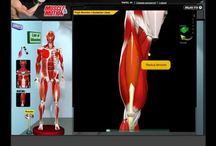 muscle si motion= 3d muscle anatomy