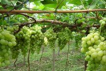 plantar uvas