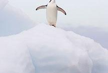 Penguinos! / i love penguins :))