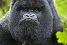 gorilla og orangutang