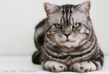 British Shorthair cat / British shorthair cat