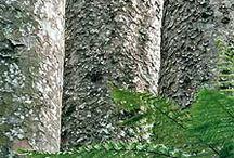 kauri tree / NZ kauri boom