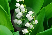 Lovely Lily of the Valley