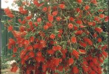 Garden ideas / We already have well established native plants eg. Bottle brush and grevillea etc and get rosellas so we would like to add more native plants etc to get more birds into front yard