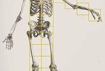 Human figure / human figure, proportions