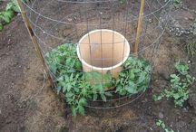 Growing TTomatoes