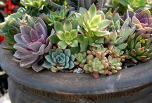 Succulents for large outdoor pots