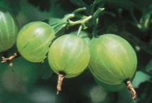 ABC's of Grossulariaceae / Includes the edible currants (blackcurrant, redcurrant, white currant), gooseberry, and several hybrid varieties, also includes the group of ornamental plants collectively known as the flowering currants / by Isye Whiting