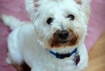 My Westie Is My Bestie / All about Skye, a Westie I rescued