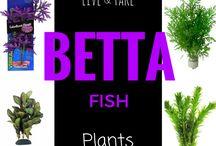 Betta splendens / useful stuff about the Siamese Fighting Fish.