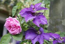 clematis mit Rosen