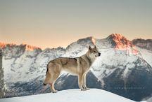 Czechslovakian Wolfdog
