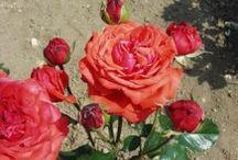 Márk rózsák