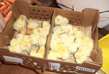 Chicken Adventures / We grow as much of our own food as we can. Our chickens help by giving us eggs.