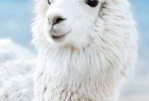 alpacka