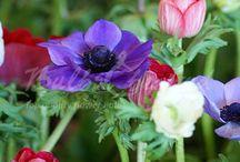 Other spring flowering bulbs / Freesias, anamones, grape hyacinths and other springflowering bulbs.